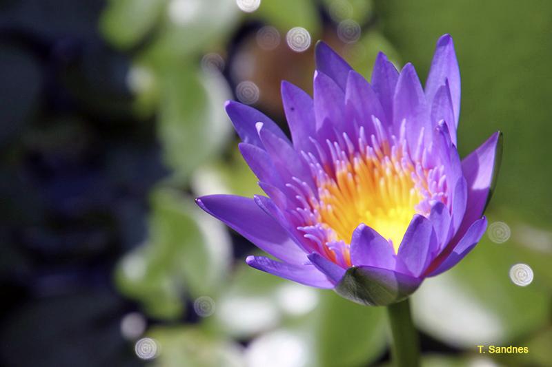 vietnam_blomster