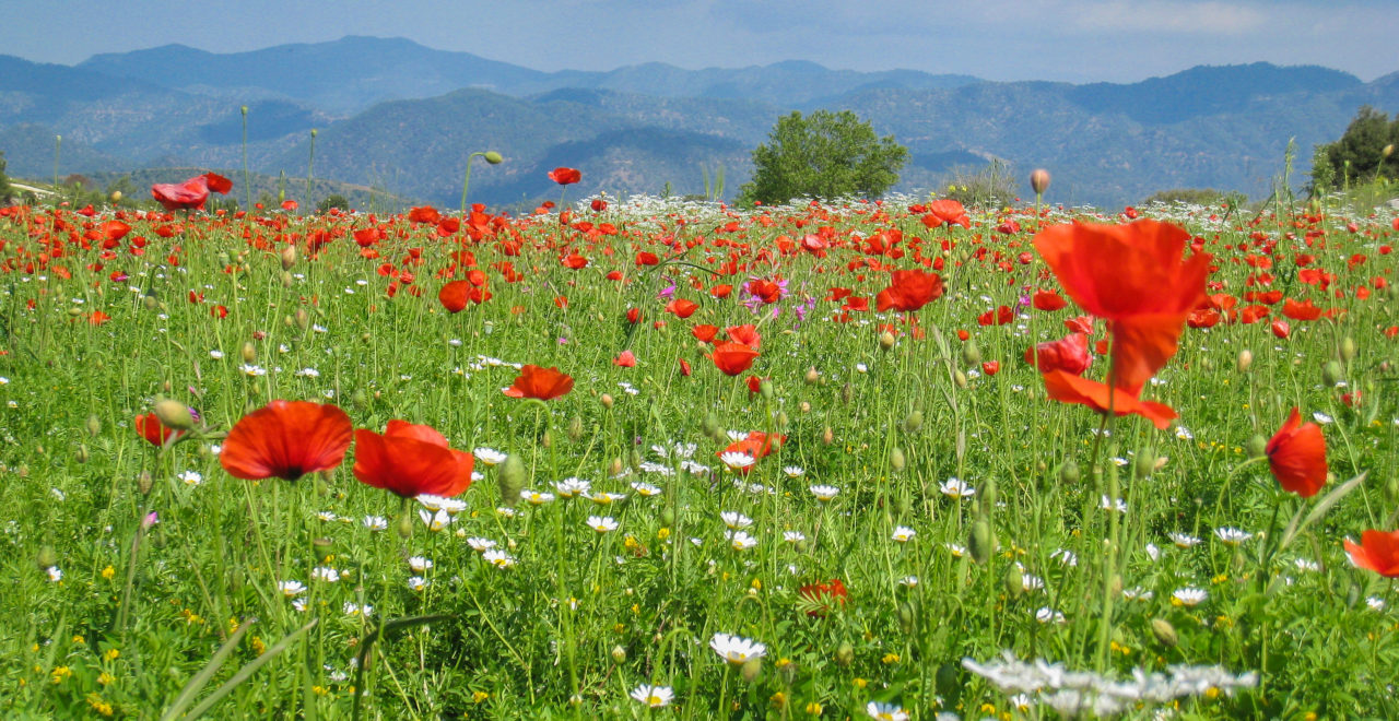 fra Lysos mot Pafos_skogen blomster foto_Geoff_Burgess