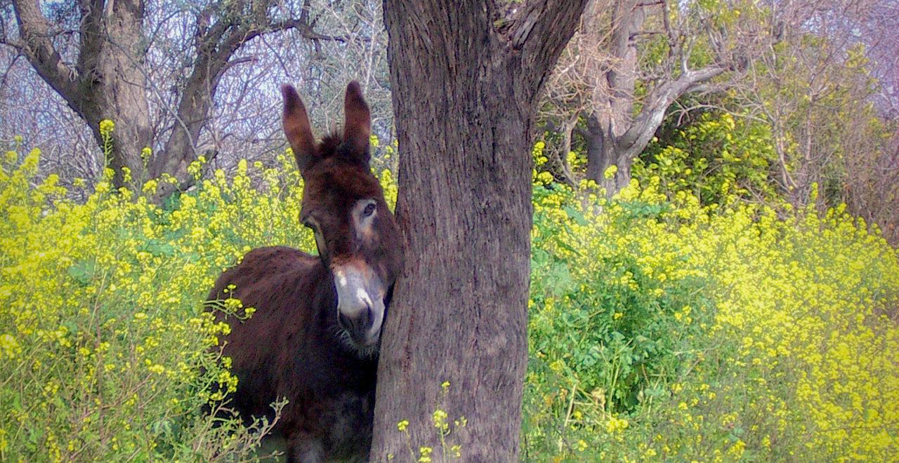 Kypros esel foto_Geoff_Burgess