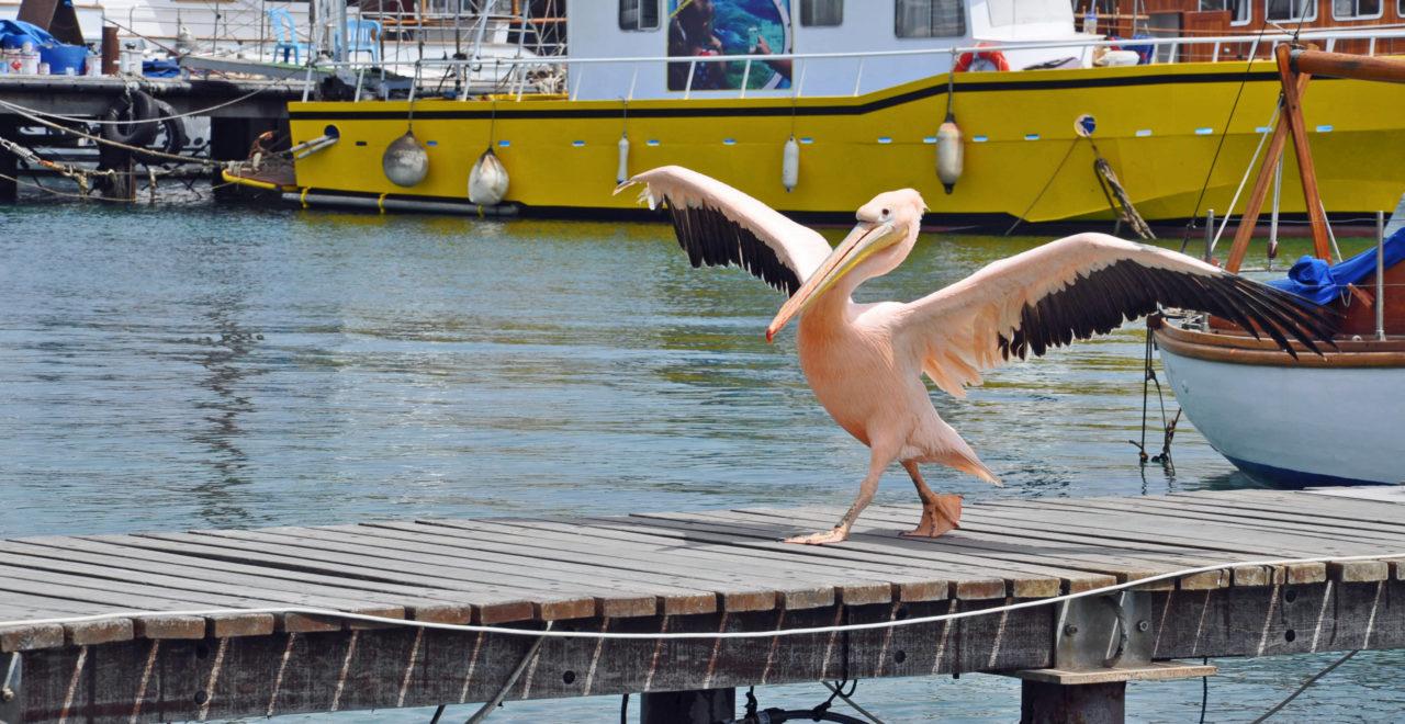 Kypros_Pafos_pelikan