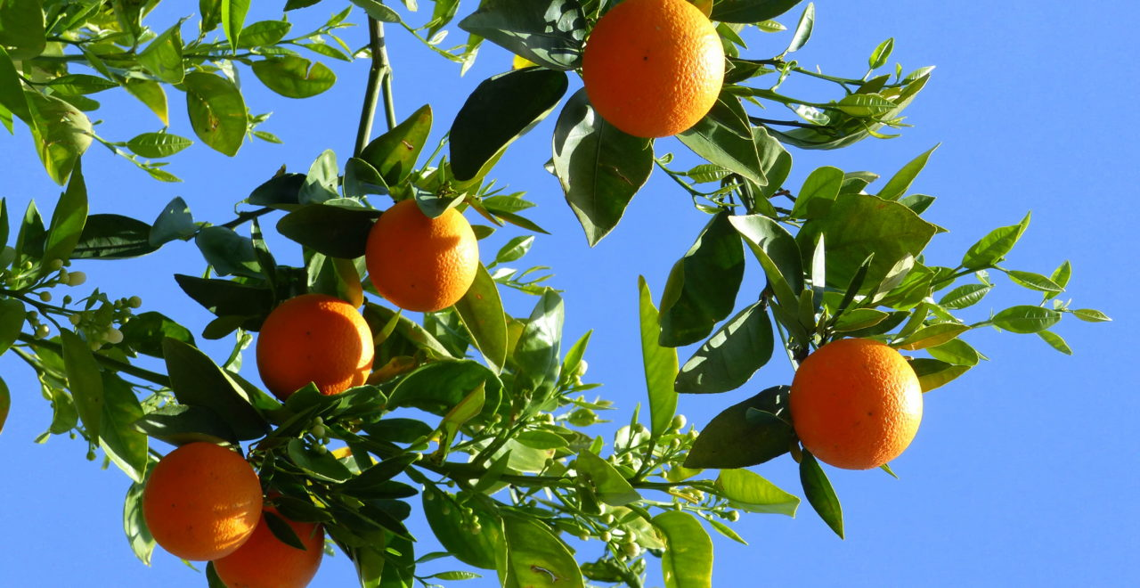 Kypros appelsin