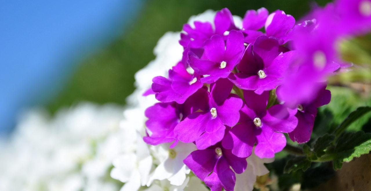 Kypros blomst