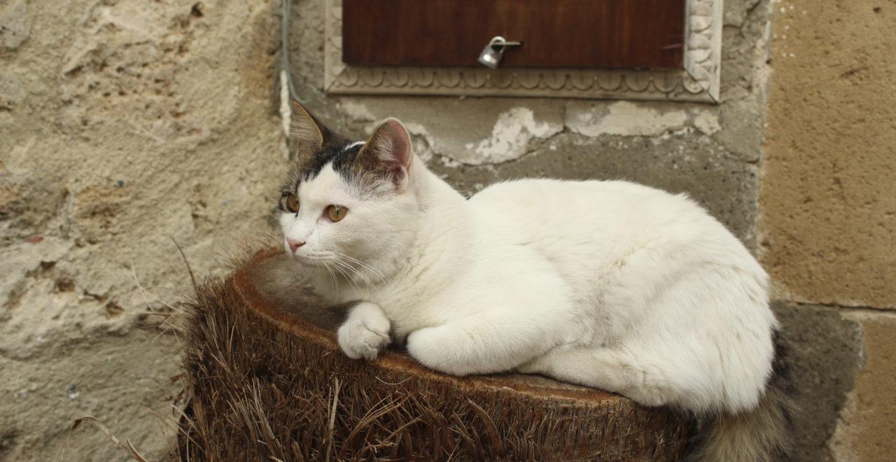 katt, Kyrenia, Girne, Nord-Kypros