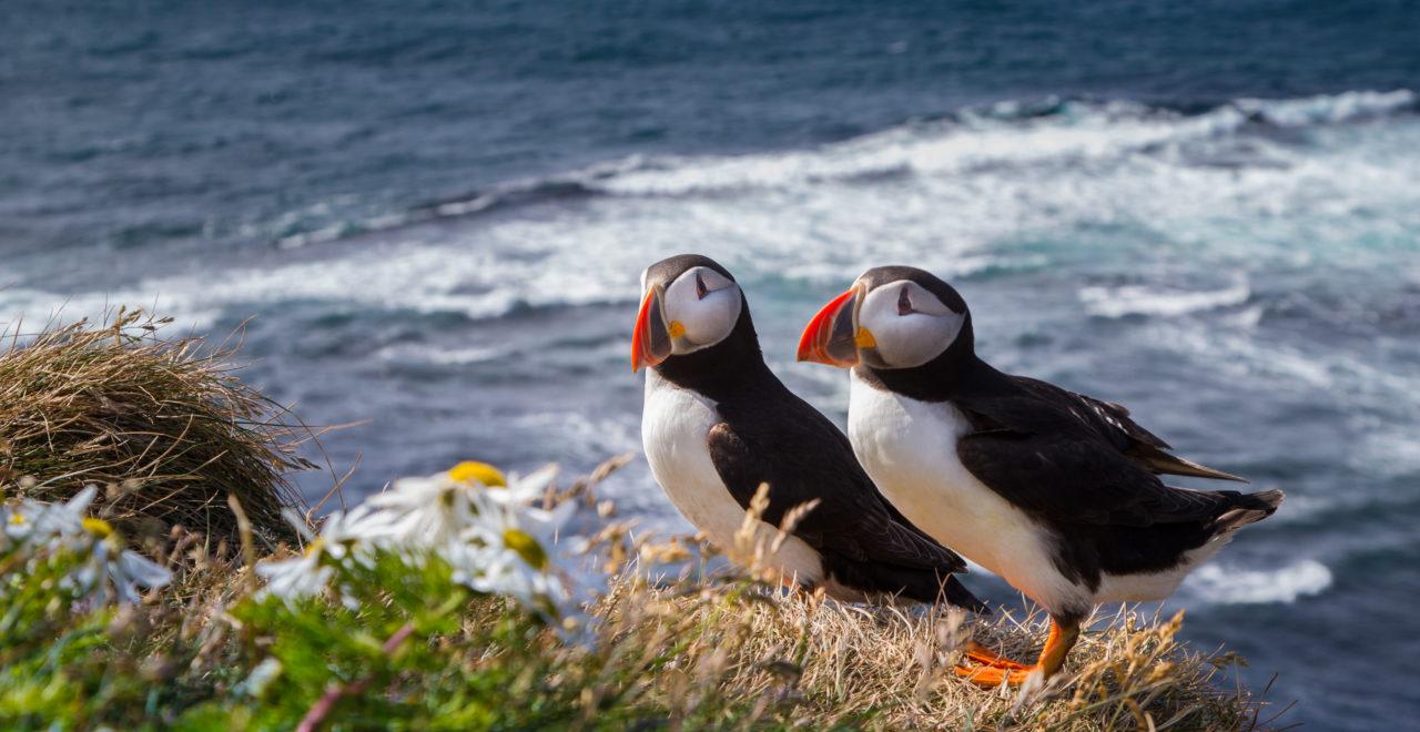 Skottland, Shetland, lundefugl