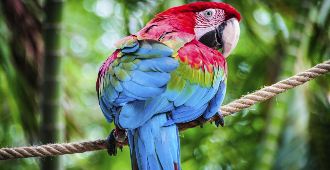 Scarlet Macaw (Ara macao) Colombia
