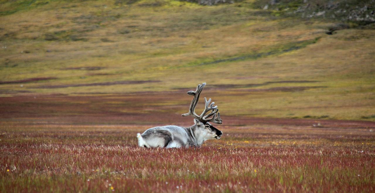 foto_Marcela Cardenas_www.nordnorge.com_rein_Longyearbyen_Svalbard