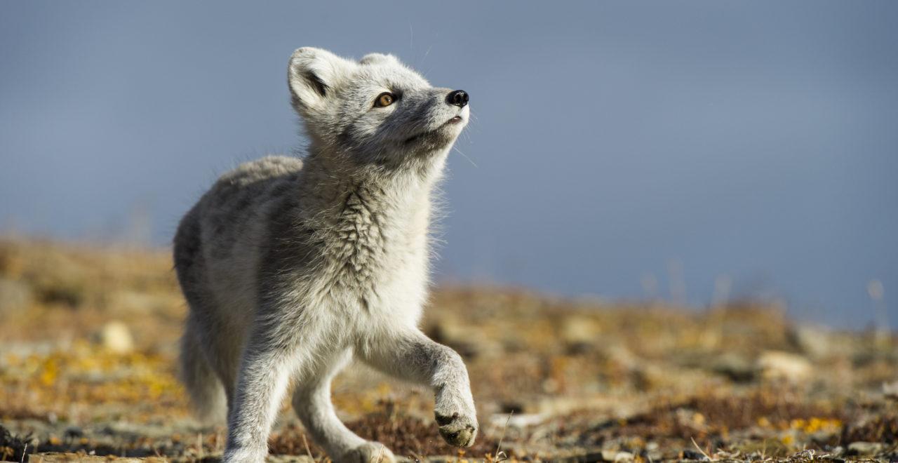 foto_Roy Mangersnes - wildphoto.no_www.nordnorge.com_Longyearbyen_polarrev_Svalbard