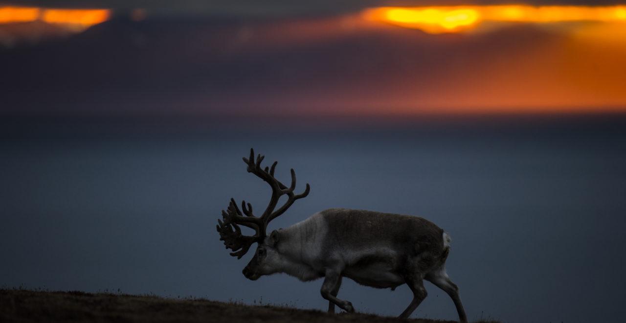 foto_Roy Mangersnes - wildphoto.no_www.nordnorge.com_Longyearbyen_rein_Svalbard