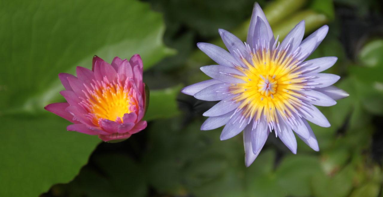 Vietnam blomst