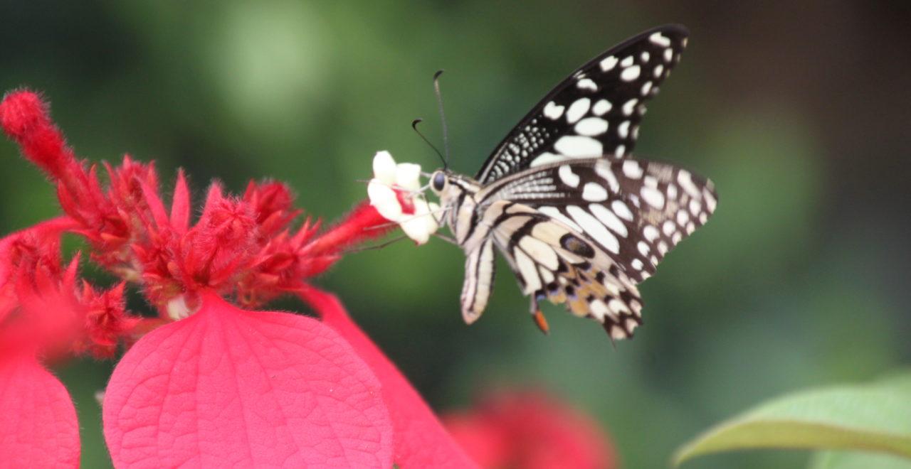Vietnam blomst sommerfugl
