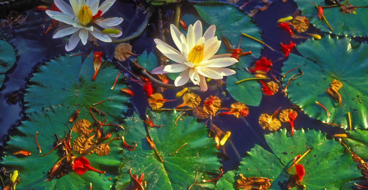 Indonesia Bali blomst lotus