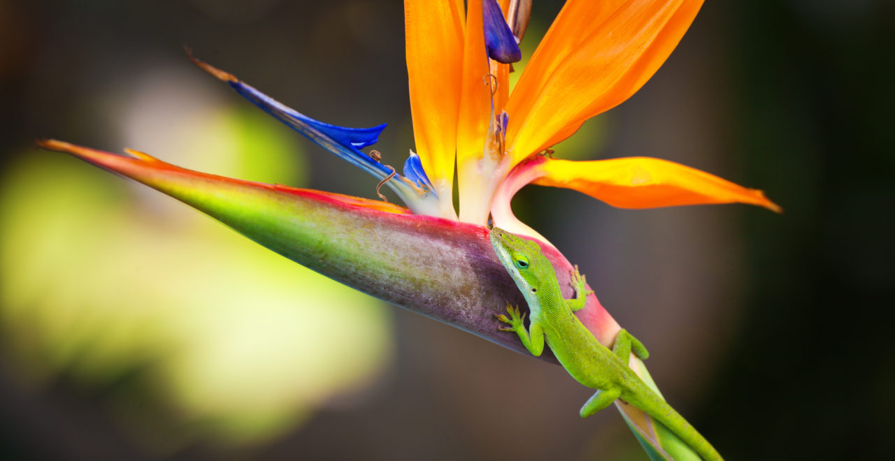 Green Gecko Lizard on Bird of Paradise Flower, Kauai, Hawaii, dyr, blomst, USA