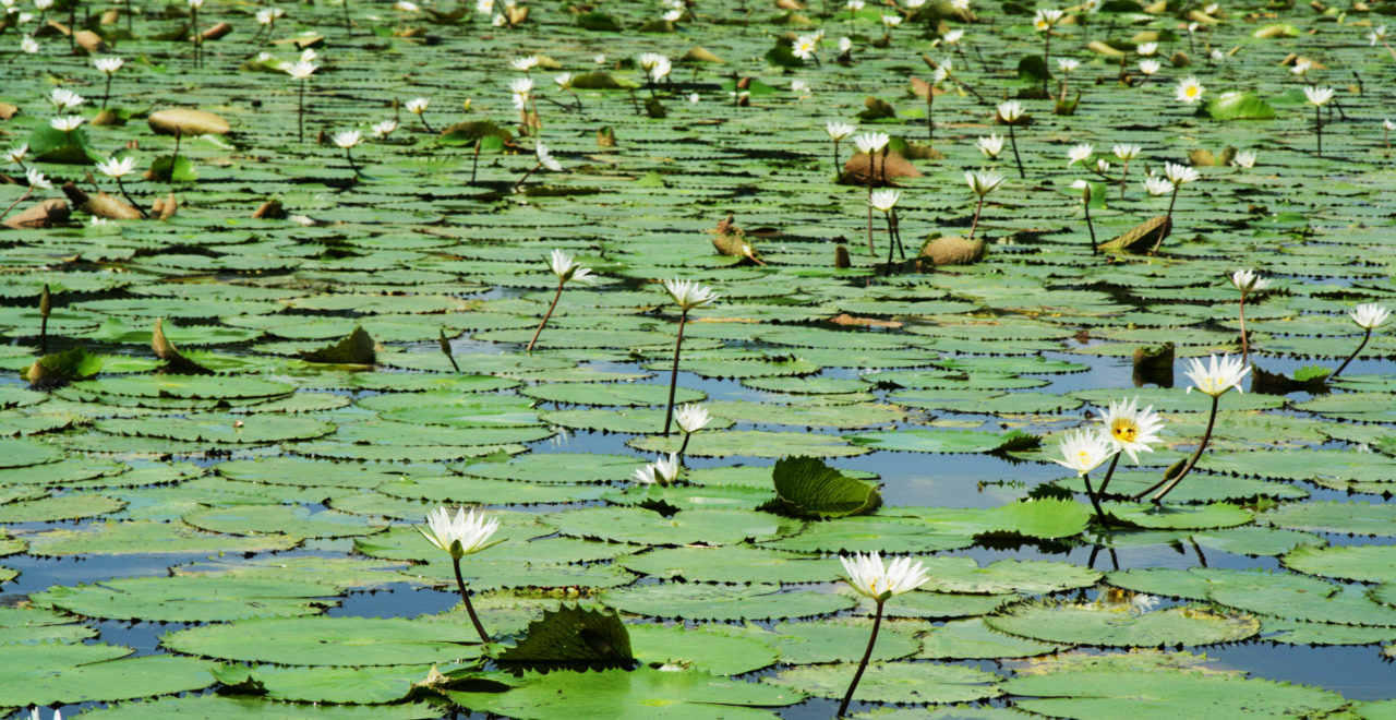 Rio Dulce, vannliljer, Guatemala