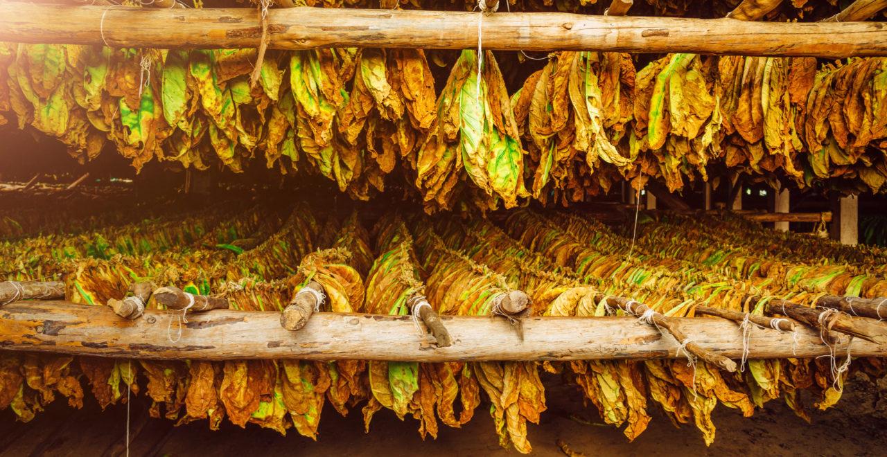 Cuba, Vinales, sigar, tobakk