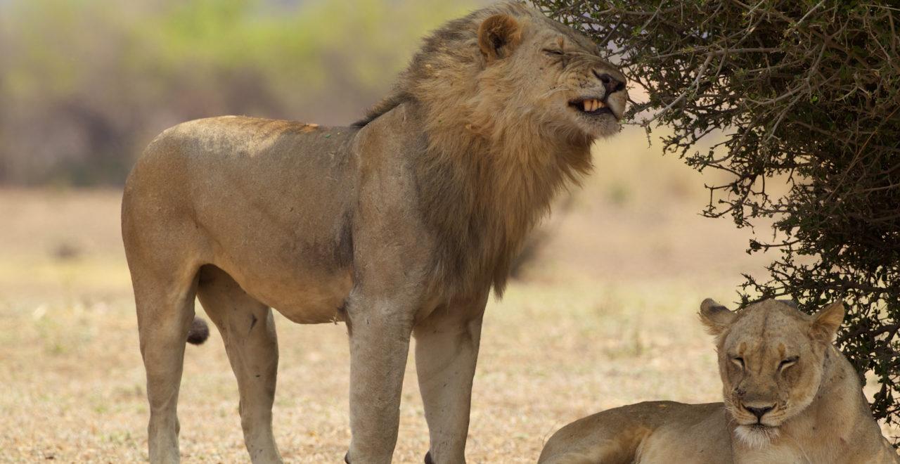 Løve, safari, Zambia, Afrika