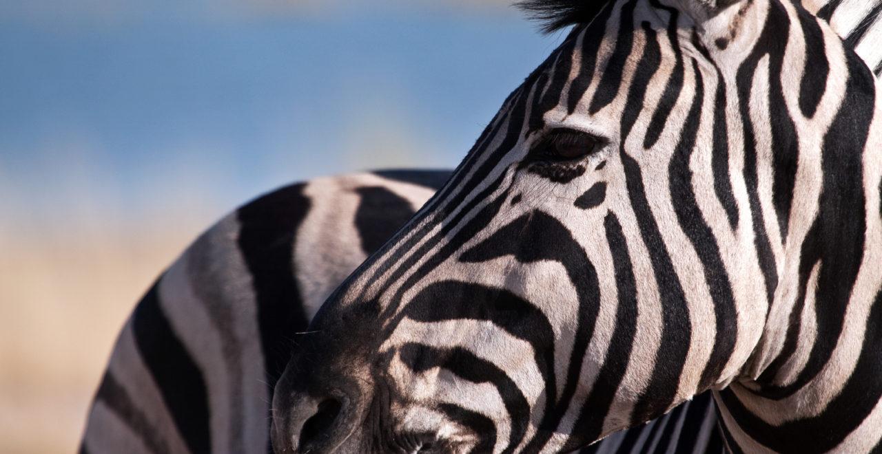 sebra, safari, afrika