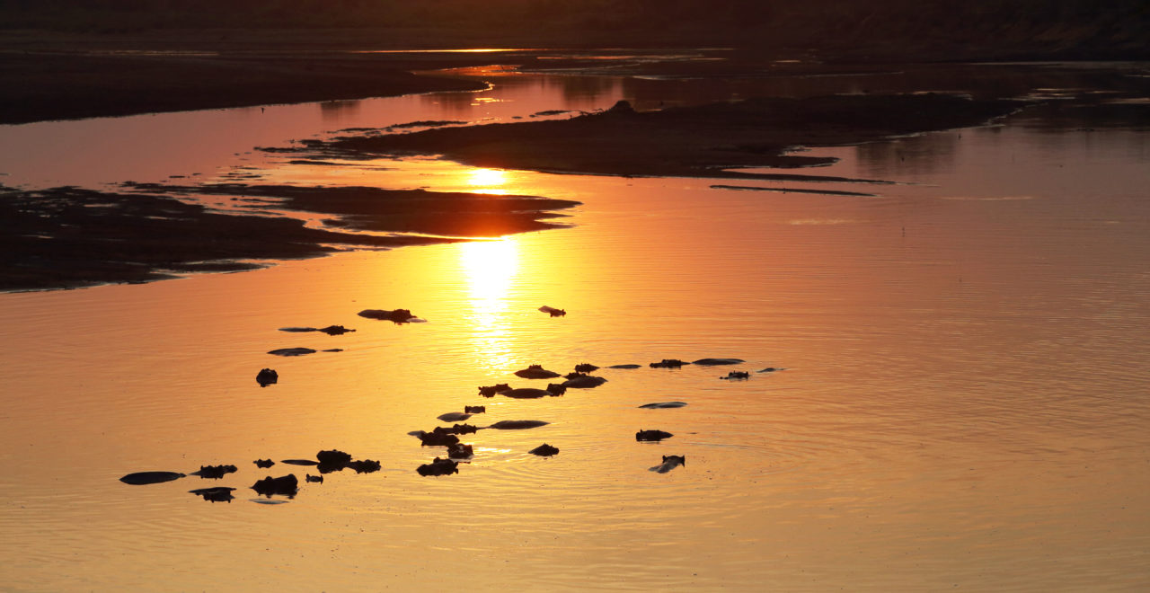 flodhest, Luangwa nasjonalpark, Zambia