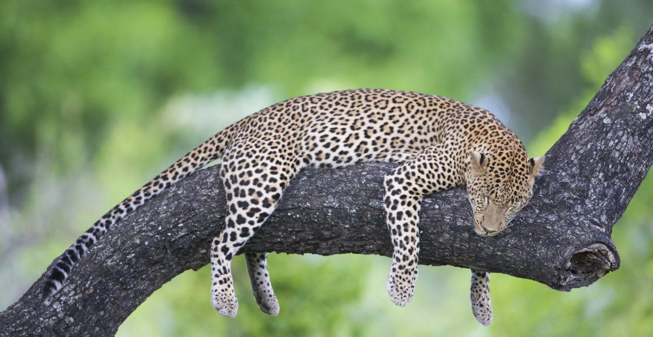 Malawi, leopard, safari