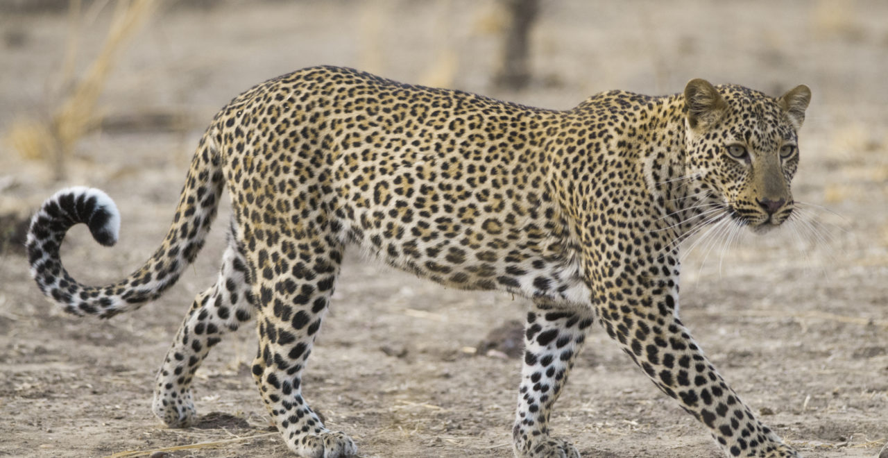 Leopard, safari, South Luangwa nasjonalpark