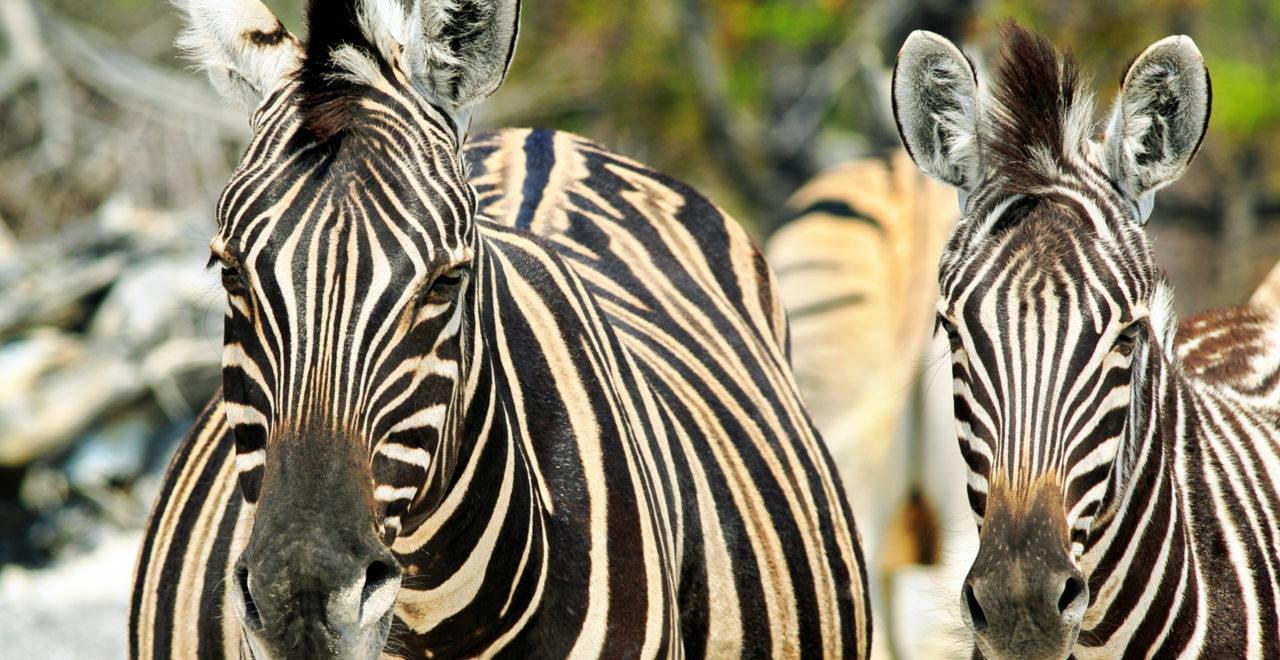 Safari, Zambia, Sør-Luangwa, South Luangwa