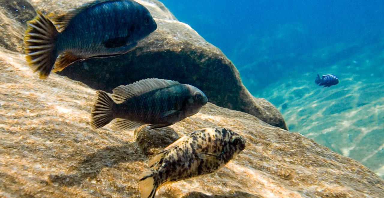 Lake Malawi, fisk
