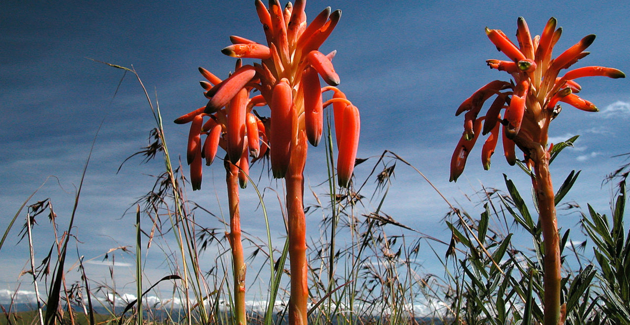 Malawi, blomst