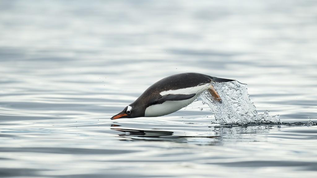Cuverville-Antarktis-HGR-114714_1024_foto_Andreas_Kalvig_Anderson_Hurtigruten