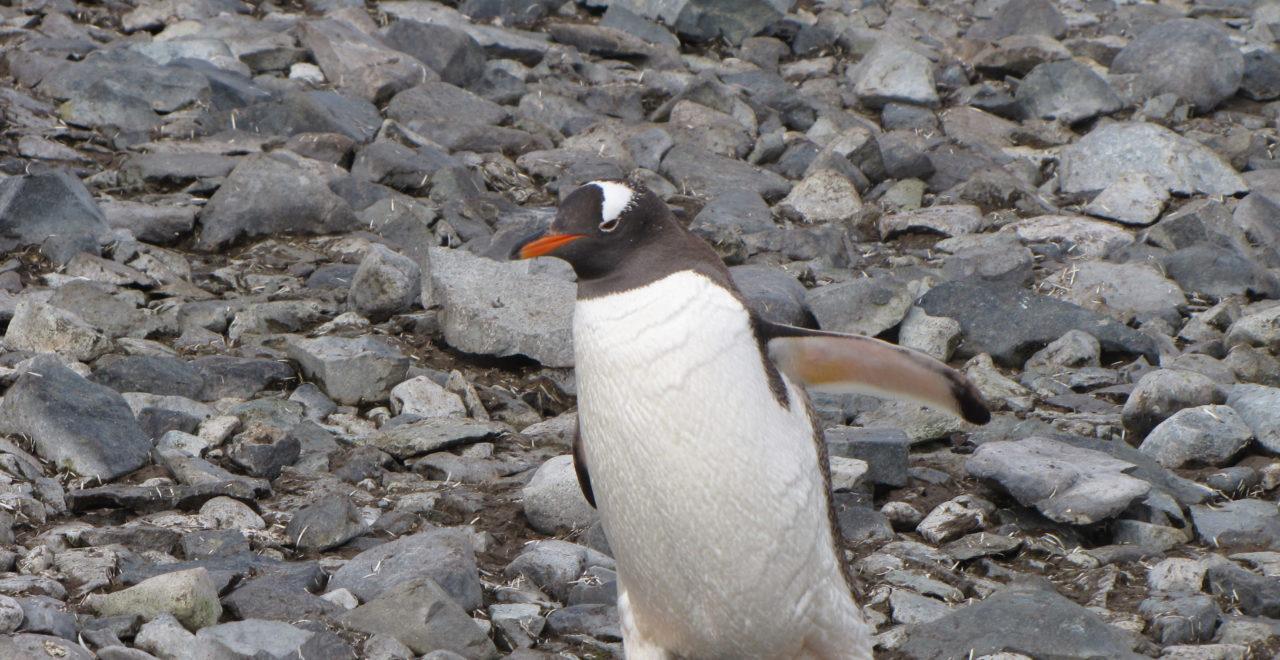 Antarktis, Astrids bilder, Hurtigruten, Midnatsol, Carpe Diem, pingviner