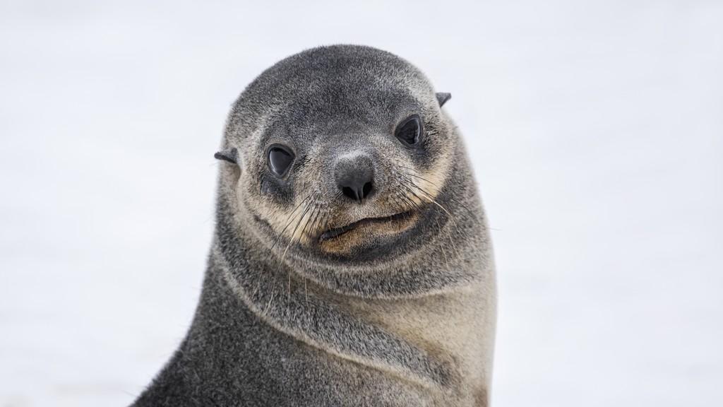 Pels-sel-Half-Moon-Island-Antarktis-HGR-115737_1024_foto_Karsen_Bidstrup_Hurtigruten