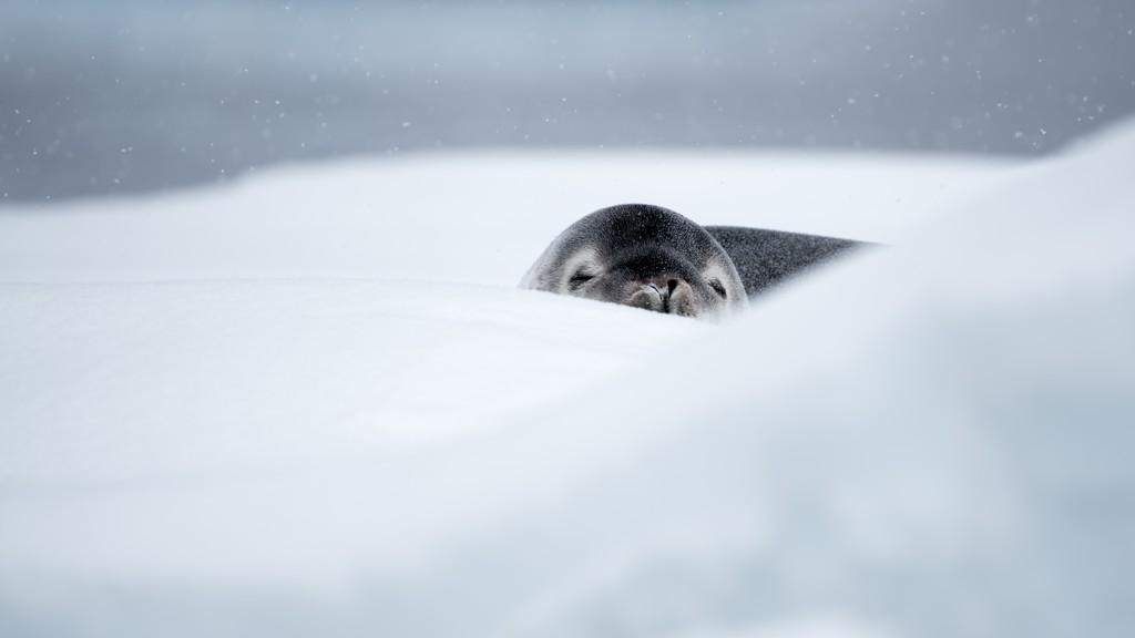 Sel-i-Wilhelmina-Bay-HGR-117377_1024_foto_Andreas_Kalvig_Anderson_Hurtigruten_Antarktis