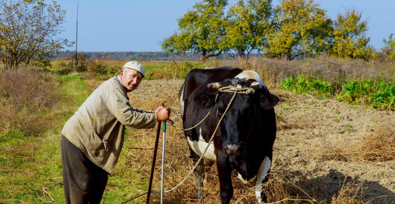 Ukraina, bonde, landsbygd, ku