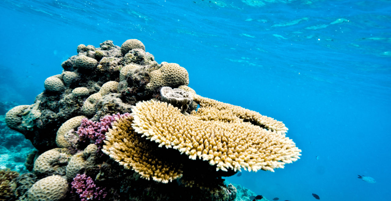 korall, Great Barrier Reef, Australia, Queensland, dykking, snorkling