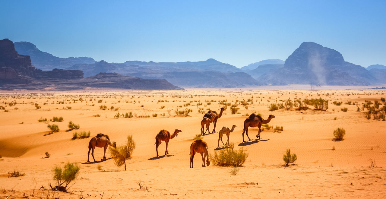 Kameler i Wadi Rum, Jordan