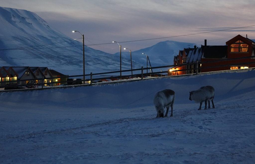 Norge_Svalbard_reinsdyr